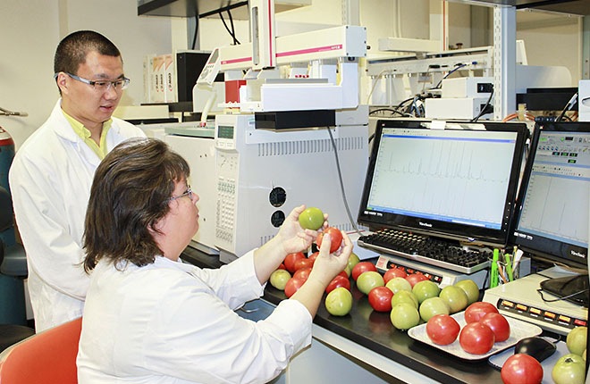 Two ARS scientists examine tomatoes in the lab