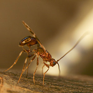 Parasitic wasp from Russia
