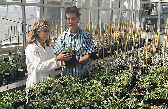 Two ARS scientists inspect plants in a greenhouse