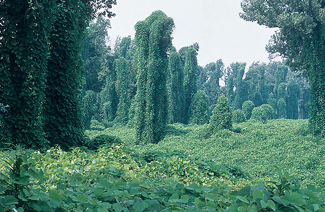 Kudzu covering land and trees