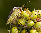 A brown stink bug on a grain sorghum head
