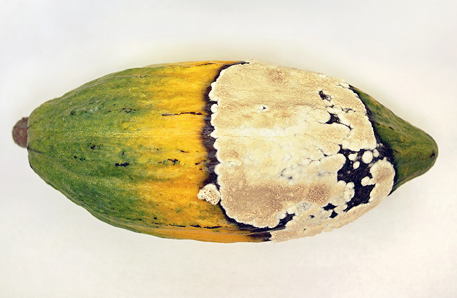 Cacao pod with symptoms of frosty pod rot