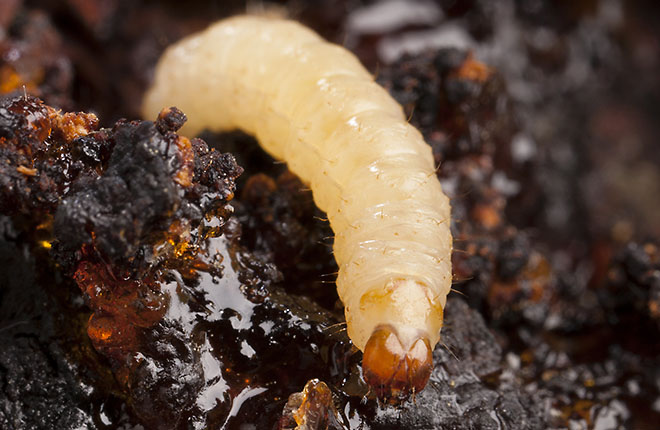 A lesser peachtree borer larva on a damaged peach tree