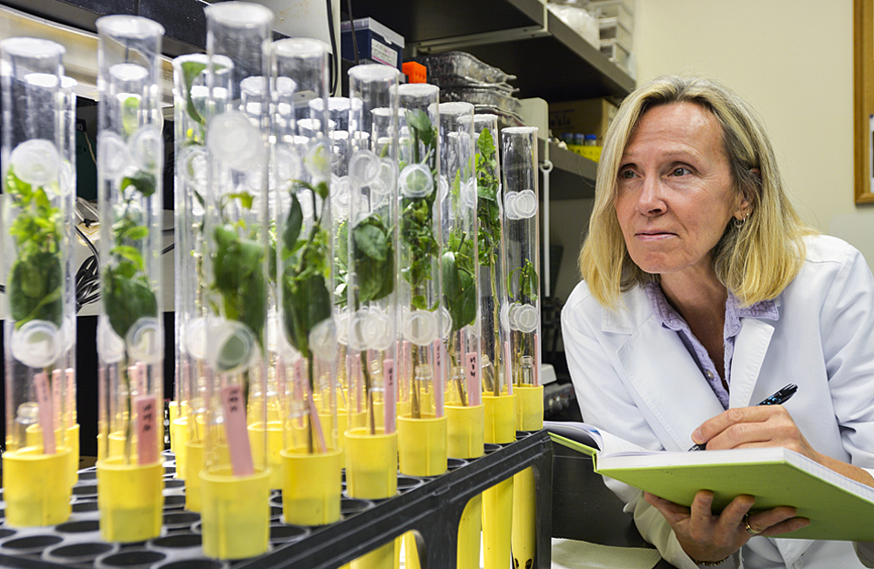 ARS technician inspecting citrus plants in the lab