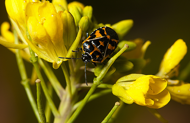 Harlequin bug on flowering mustard greens plant