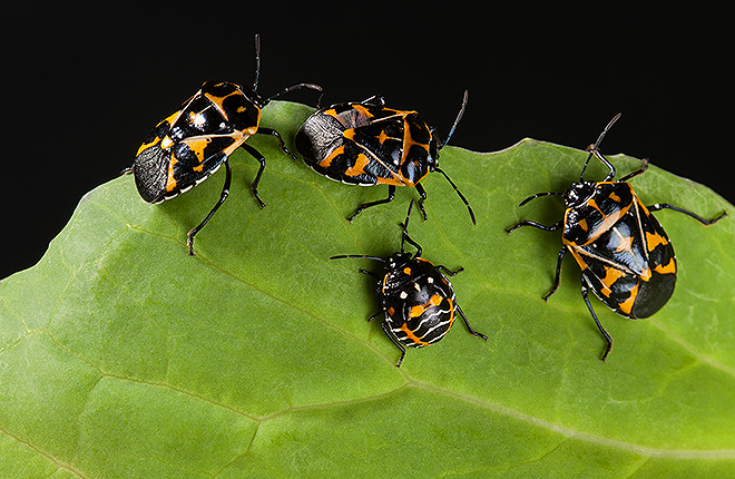 Harlequin bugs on a leaf