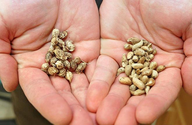 Two wild peanut ancestors