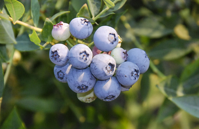 Baby Blues blueberry cluster