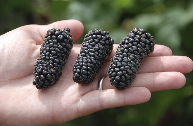 Three Columbia Giant blackberries