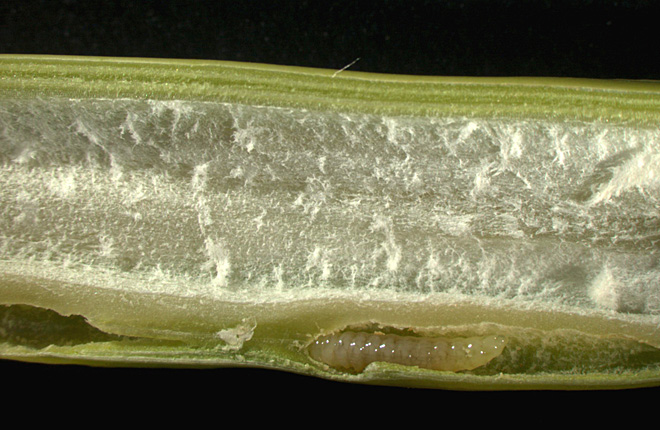 Arundo gall wasp larva inside a giant reed stem