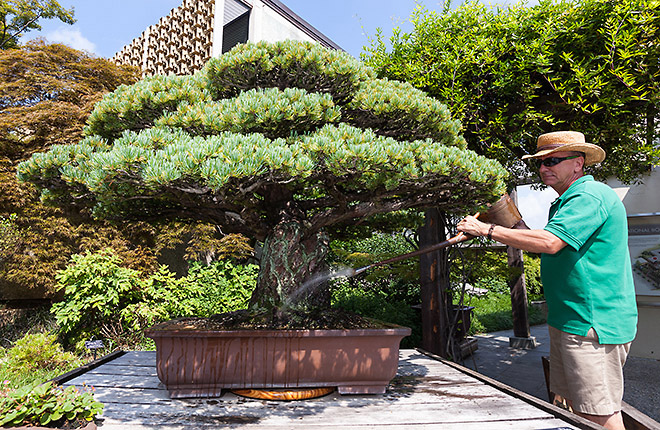National Bonsai & Penjing Museum Curator Jack Sustic watering Japanese White Pine