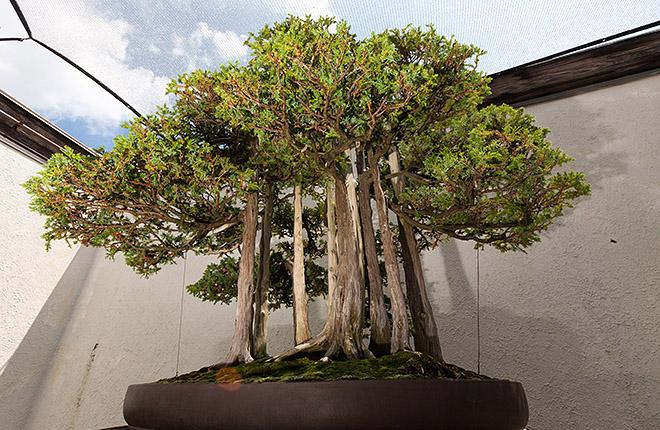 """Goshin,"" John Naka's bonsai masterpiece"