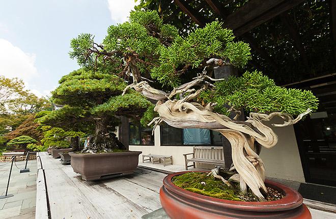 Sargent Juniper bonsai tree
