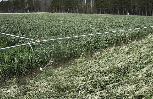 Two oat cultivars growing side by side