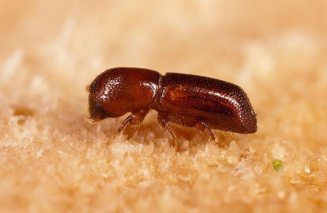 Female redbay ambrosia beetle