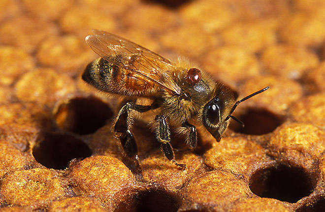 Adult honey bee with a Varroa mite on it