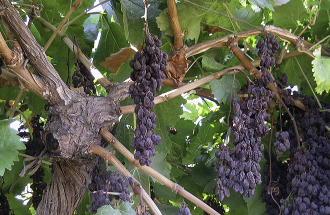 """Sunpreme"" raisin grapes drying on vine"