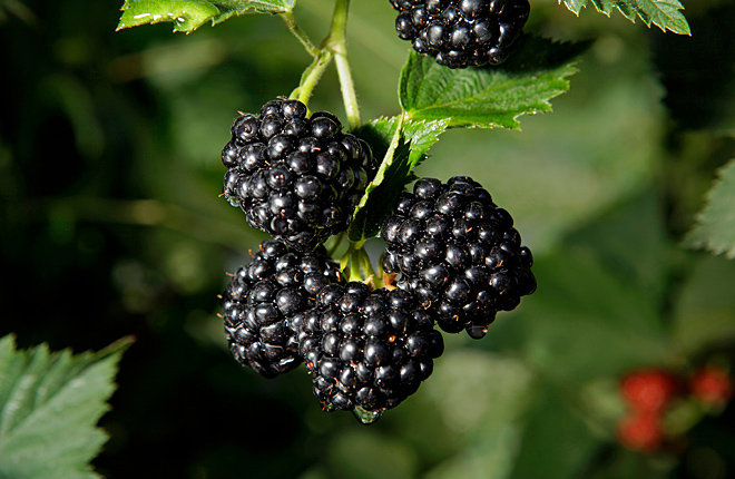 Blackberries on a blackberry plant