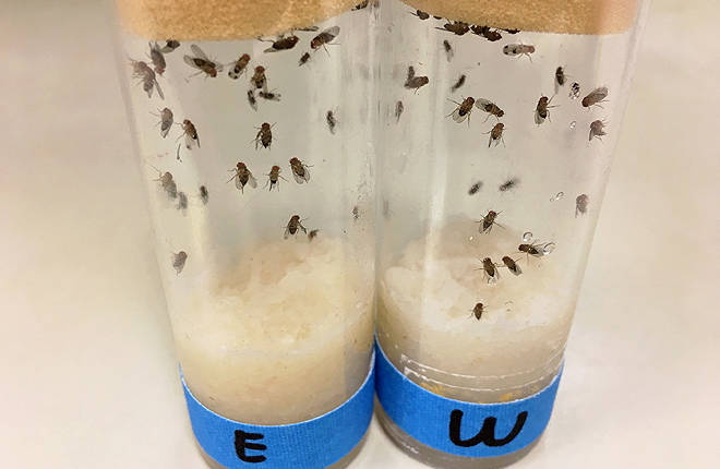 Drosophila flies in vials