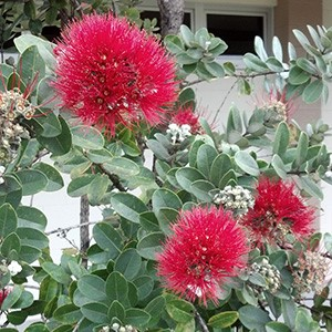 Pink puffy ʻōhiʻa flowers