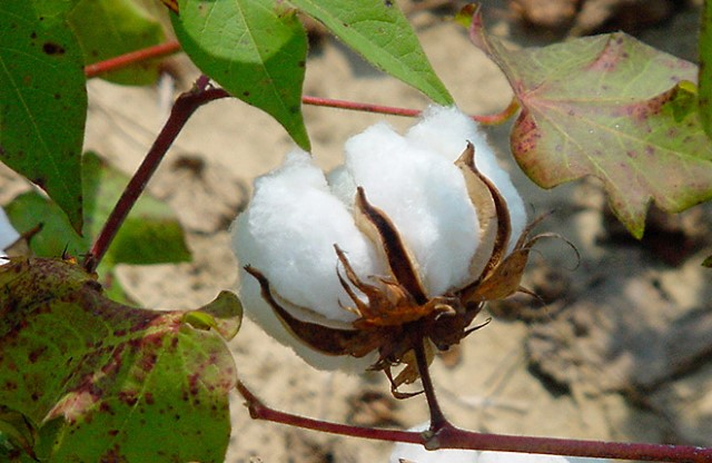 Cotton boll ready for harvest