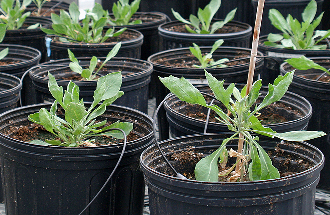 Guayule plants in a greenhouse
