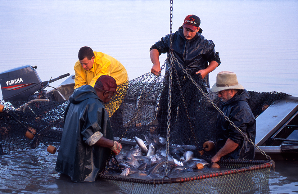 Fishermen catching fish in a net