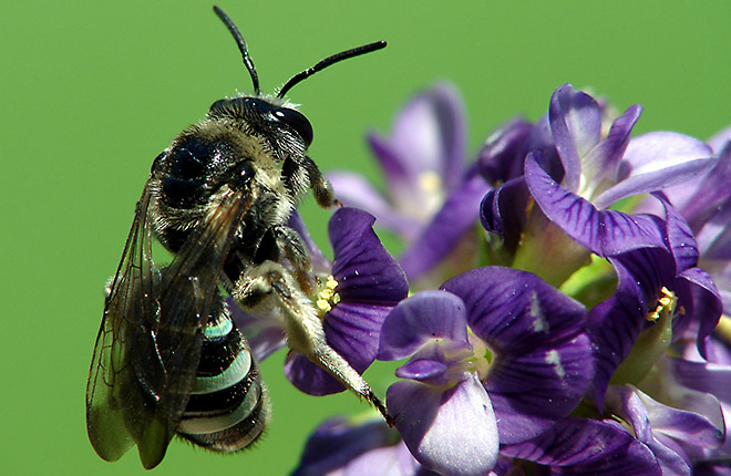 Female alkali bee on alfalfa flowers