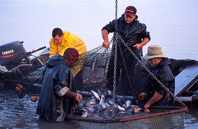 Fishermen catching fish in a net