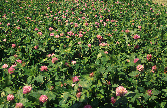 Flowering red clover