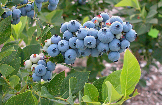 Highbush blueberry cluster