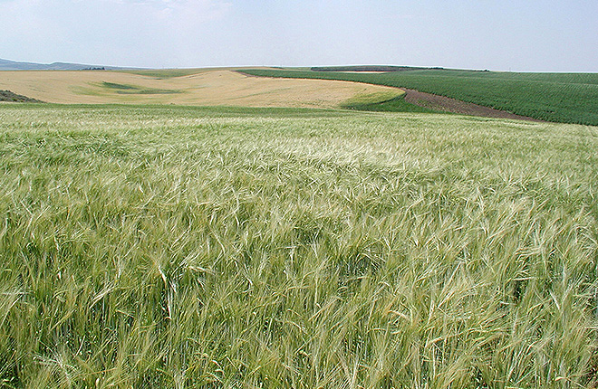 Field of low-phytate, hulless barley