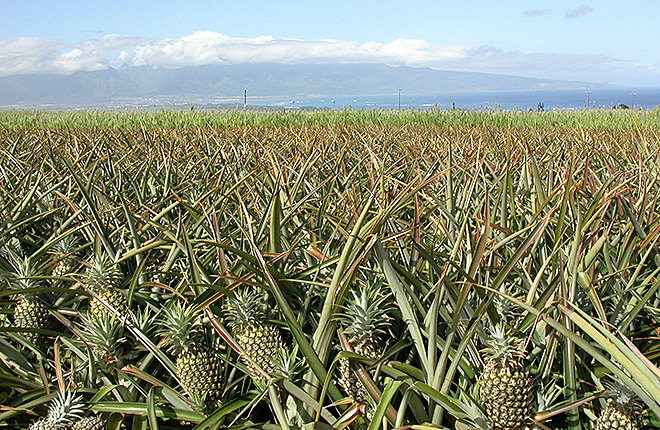 Pineapple field in Maui