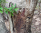 Discolored oak tree trunk